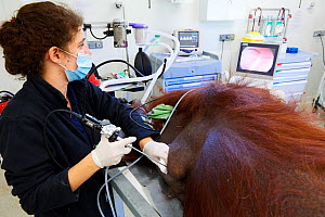 Veterinarian practising endoscopy on a female Orangutan (Pongo pygmaeus) under anaesthetic, having a pulmonary infection, Beauval Zoo, France, October 2017. - Eric Baccega