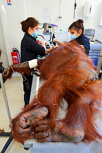 Veterinarian treating a pulmonary infection in a female Orangutan (Pongo pygmaeus) under anaesthetic,  Beauval Zoo, France, October 2017. - Eric Baccega