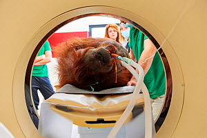 Female Orangutan (Pongo pygmaeus) under anaesthetic and undergoing an MRI scanner in the surgery station of the zoo, Zooparc Beauval, France, October 2017. - Eric Baccega