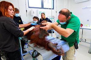 Veterinarian checking a female Orangutan (Pongo pygmaeus) under anaesthetic. This Orangutan has a pulmonary infection. Beauval Zoo France, October 2017. - Eric Baccega