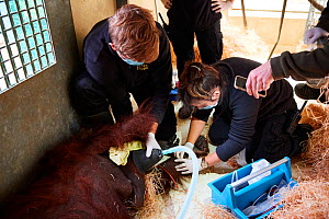 Veterinarian administratiing a sedative injection to a female Orangutan (Pongo pygmaeus) for a check with an MRI scanner, Zooparc Beauval, France, October 2017. - Eric Baccega