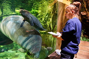 Veterinarian observing Caribbean manatee or West Indian manatee mother with newborn baby  (Trichechus manatus), age two days,, captive, Beauval Zoo, France;Veterinarian observing Caribbean manatee or... - Eric Baccega