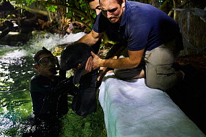Keepers catching newborn Caribbean manatee or West Indian manatee (Trichechus manatus) in zoo pool in order to administer care. The baby is age two days, and weighing 15 kg, Beauval Zoo, France. - Eric Baccega