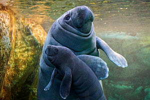 Caribbean manatee or West Indian manatee (Trichechus manatus) mother with baby, age two days,  captive, Beauval Zoo, France - Eric Baccega