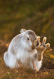 Mountain hare (Lepus timidus) grooming itself, with back foot raised, Cairngorms National Park, Scotland, UK, February.  Highly Commended in the Animal Behaviour category of the British Wildlife Photo... - Andrew Parkinson