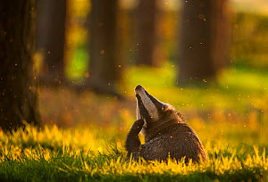Badger (Meles meles) adult, backlit at sunset, scratching its ears, Derbyshire, UK, May. Winner of the Animal Behaviour category of the British Wildlife Photography Awards (BWPA) Competition 2017.  -  Andrew Parkinson