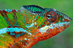 RF - Panther Chameleon (Furcifer pardalis) male portrait, Madagascar. Controlled conditions (This image may be licensed either as rights managed or royalty free.) - Andy Rouse