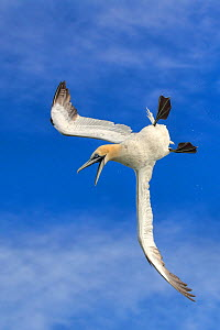 RF - Gannet (Morus bassanus)flying / diving against blue sky, off Bempton Cliffs, Yorkshire, England, UK. (This image may be licensed either as rights managed or royalty free.)  -  Andy Rouse
