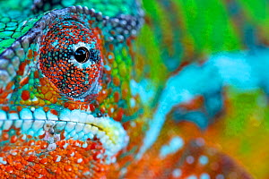 Panther Chameleon (Furcifer pardalis) male portrait, Madagascar. Controlled conditions  -  Andy Rouse