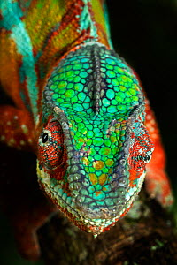 Panther Chameleon (Furcifer pardalis) male, Madagascar. Controlled conditions  -  Andy Rouse