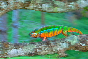 Panther Chameleon (Furcifer pardalis) male walking, blurred motion, Madagascar. Controlled conditions  -  Andy Rouse