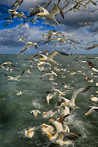 Gannet (Morus bassanus) group diving to feed off Bempton Cliffs, Yorkshire, England, UK, June.  -  Andy Rouse