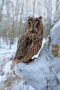 Long eared owl (Asio otus) in winter snow, UK. Controlled conditions  -  Andy Rouse