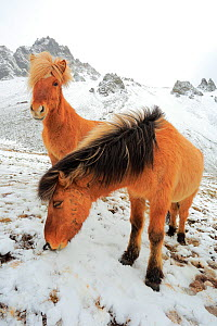 Two Icelandic horses in snow, Hofn, Iceland, February. - Andres M. Dominguez