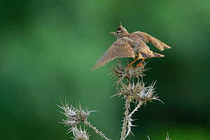 Crested lark (Galerida cristata) flapping wings, Cadiz, Andalusia, Spain, May.  -  Andres M. Dominguez
