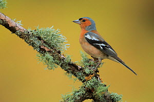 Male Common chaffinch (Fringilla coelebs),   Andalusia, Spain, June.  -  Andres M. Dominguez