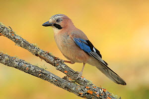 Jay (Garrulus glandarius),   Andalusia, Spain, June.  -  Andres M. Dominguez