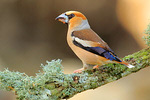 Hawfinch (Coccothraustes coccothraustes),   Andalusia, Spain, June.  -  Andres M. Dominguez