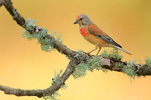 Male Common linnet (Linaria cannabina),   Andalusia, Spain, June. - Andres M. Dominguez