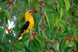 Golden oriole (Oriolus oriolus) feeding,   Andalusia, Spain, July. - Andres M. Dominguez