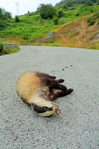 Dead Badger (Meles meles) on a road, Cantabria, Spain, July. - Andres M. Dominguez