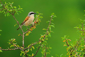 Male Red-backed shrike (Lanius collurio), Cantabria, Spain, August.  -  Andres M. Dominguez