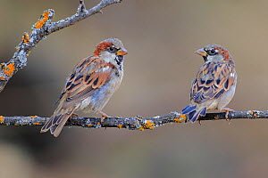 Male House sparrows (Passer domesticus) perched on a twig, Cadiz, Andalusia, Spain, August. - Andres M. Dominguez