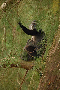 Stuhlmann's blue monkey (Cercopithecus mitis stuhlmanni) mother and young, Kakamega forest, Kenya. - John Cancalosi