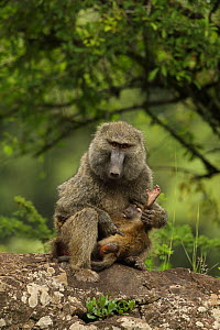 Olive baboons (Papio anubis) mother and young, Kenya - John Cancalosi