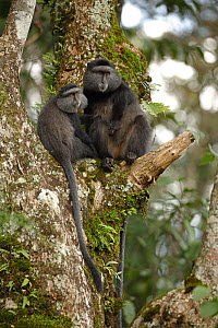 Stuhlmann's blue monkey (Cercopithecus mitis stuhlmanni) adult female with unrelated juvenile, Kakamega forest, Kenya. - John Cancalosi