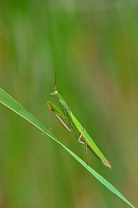 European praying mantis (Mantis religiosa) on a blade of grass, Vendee, France, July. - Loic  Poidevin