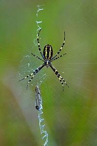 "Wasp spider (Argiope bruennichi) on its web with butterfly prey wrapped in silk and showing a zigzag ""stabilimentum"" pattern on its web used to attract prey, Vendee, France, July.  -  Loic  Poidevin"