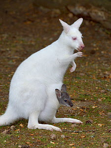 Albino Red- necked wallaby (Macropus rufogriseus) with joey in her pouch, Parc de Branfere, Morbihan, France. July.  -  Loic  Poidevin