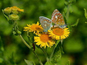 Two Common blue butterflies (Polyommatus icarus) mating on Common fleabane flowers (Pulicaria dysenterica), Vendee, France. July. - Loic  Poidevin