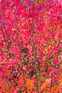 Maple tree (Acer) with colourful leaves in autumn, Spain, November.  -  Juan Carlos Munoz