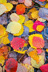 Leaves of a Common aspen tree (Populus tremula) on ground in autumn, Aragon, Spain, November. - Juan Carlos Munoz