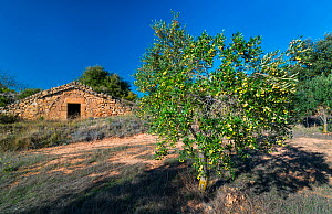 Rural building, with Olive tree (Olea europaea)  in the foreground, Lleida, Catalonia, Spain, November 2015. - Juan Carlos Munoz