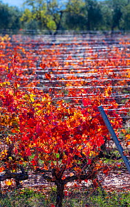 Vineyard with colourful leaves in autumn, Lleida, Catalonia, Spain, November.  -  Juan Carlos Munoz