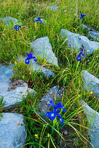 English iris (Iris xiphioides) growing in limestone pavement, Ordesa y Monte Perdido National Park, Aragon, Spain, July. - Juan Carlos Munoz