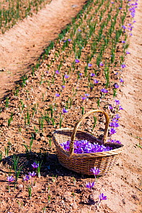Basket containing harvested Saffron crocuses (Crocus sativus) in a field, cultivated for saffron, Lleida, Catalonia, Spain, November.  -  Juan  Carlos Munoz