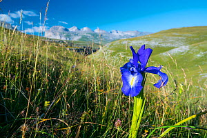 English iris (Iris xiphioides), Ordesa y Monte Perdido National Park, Aragon, Spain, July. - Juan Carlos Munoz