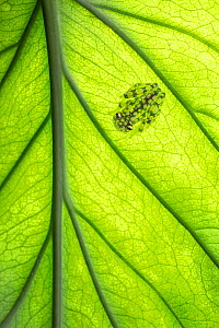 Valeroi's glass frog (Hyalinobatrachium Valerioi) on underside of a leaf, Costa Rica.  -  Guy Edwardes
