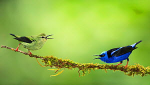 Pair of Red-legged honeycreepers (Cyanerpes cyaneus), Costa Rica.  -  Guy Edwardes