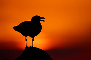 Great black-backed gull (Larus marinus) calling, silhouetted against sunset, Saltee Islands, County Wexford, Ireland, June. - Guy Edwardes