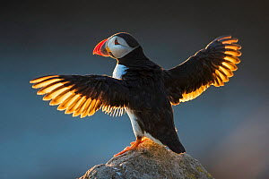 Puffin (Fratercula arctica) wings spread backlit, Great Saltee Island, County Wexford, Republic of Ireland, June.  -  Guy Edwardes