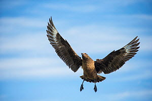 Great skua (Catharacta skua) in flight, Shetland Islands, Scotland, August. - Guy Edwardes