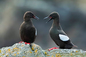 Two Black guillemots (Cepphus grylle) interacting, calling, Foula Shetland Islands, Scotland  -  Guy Edwardes