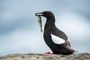 Black guillemot (Cepphus grylle) feeding, Foula, Shetland Islands, Scotland, August.  -  Guy Edwardes