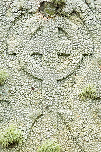 Crawfish lichen (Ochrolechia parella) on a gravestone, Unst, Shetland Islands, Scotland, August.  -  Guy Edwardes