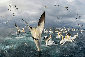 Northern gannet (Morus bassanus), feeding frenzy, Noss NNR, Shetland, Scotland, UK - Guy Edwardes